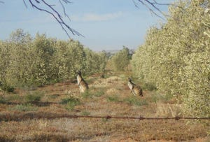 L240 Olive Grove Road, Napperby, SA 5540